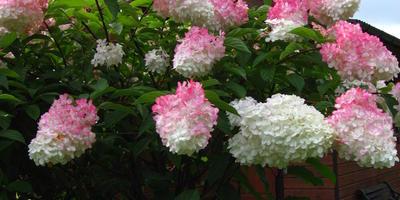 Многоликая метельчатая гортензия (Hydrangea paniculata) и альтернативный взгляд на формирующую «классическую» обрезку. Часть 2