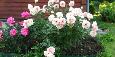 Ещё раз про любовь.... к розам