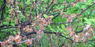 Сохнет войлочная вишня. Подскажите, может это болезнь или вредитель?