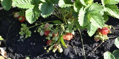 Какой уход нужен за клубникой во время плодоношения?