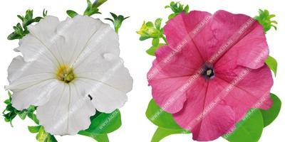 Комплиментуния – наш комплимент садоводу