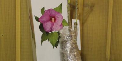 Стоит ли посадить гибискус в горшок до высадки в грунт и нужно ли использовать какой-нибудь стимулятор?