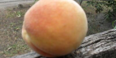 """Самый любимый персик. Сорт """"Из косточки"""""""