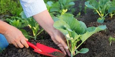 Чтобы рассада капусты была крепкой, ее семена необходимо закаливать