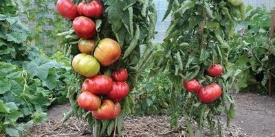 Привитые томаты, правда или миф?