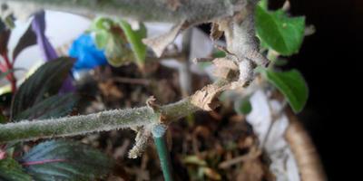 Помогите спасти петунию, зимующую дома
