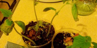 Мой опыт выращивания огурчиков на подоконнике, или Даешь урожай на Пасху