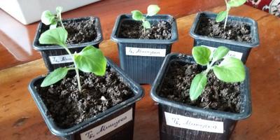 Баклажан Мишутка. III этап. Развитие растений