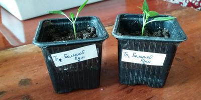 Перец Большой куш. III этап. Развитие растений