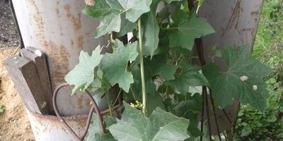 Что это такое? То ли арбуз, то ли хрен с маслом... Что за растение?