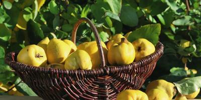 Айва: полезные свойства, сорта и особенности