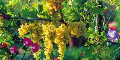 Десертные сорта винограда для средней полосы