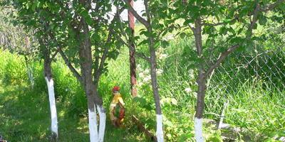 Какая должна быть высота побелки фруктовых деревьев?