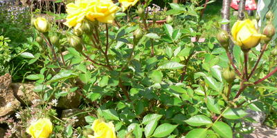 Правда ли, что самые неприхотливые розы желтого цвета?