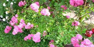 Не мешают ли розы клематису?