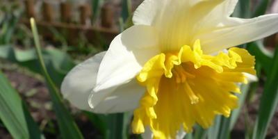 Есть ли сорта тюльпанов и нарциссов, которые можно посадить весной?