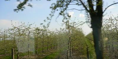 Вот так формируют яблони в Польше. А вы сильно обрезаете свои яблони?