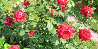 Просто захотелось лета... Просто розы...