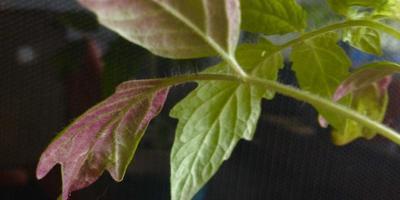 Некоторые листья рассады томатов приобрели фиолетовый оттенок, некоторые закручиваются. В чем причина и как помочь рассаде?