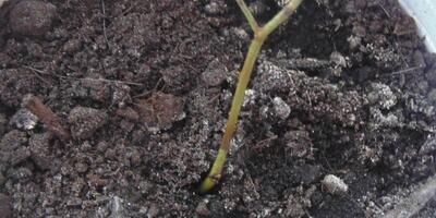 Как вырастить из веточки почвопокровной розы кустик?