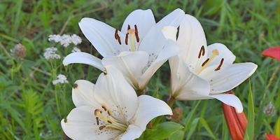 Загадочные лилии