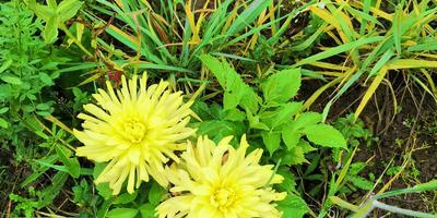 Георгины, или Однолетне-многолетние цветы