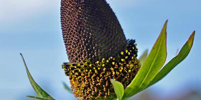 Черная красавица - рудбекия