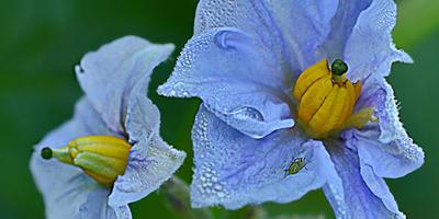 Картошечка «Голубизна» под Агротексом
