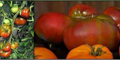 Мои помидорные «Ананасы»