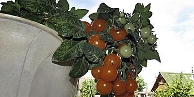 Томат Венус - сладкое украшение окошка