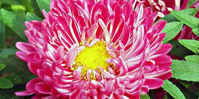 «Седая дама» - удивительно красивая астра с оригинальной расцветкой