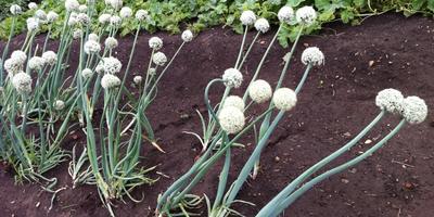 Можно ли этот лук-севок расценивать как полноценный посадочный материал?