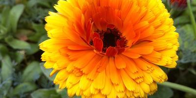 Обладает ли лечебными свойствами декоративная календула?