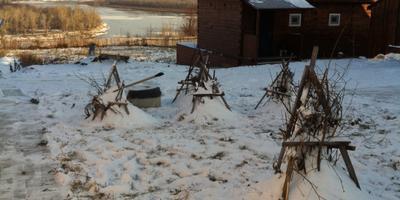 Правильно ли укрыты на зиму кусты курильского чая и гортензии?