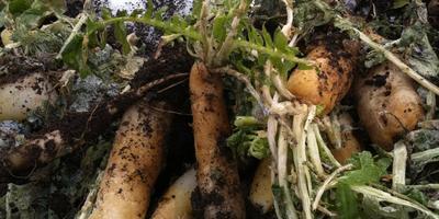 Убираем урожай дайкона в конце ноября:)