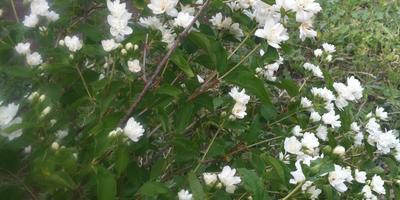 Что растет на нашем участке: чубушник или жасмин?