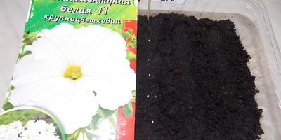 Комплиментуния F1 белая. IV этап. Развитие растений и уход за ними