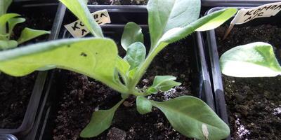 Комплиментуния F1 лимонно-синяя. IV этап. Развитие растений и уход за ними
