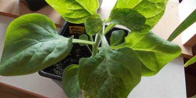 Петуния Варвара Краса F1. IV этап. Развитие растений и уход за ними
