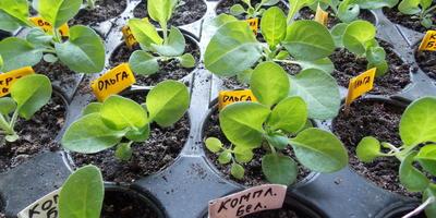 Петуния Анастасия F1. IV этап. Развитие растений и уход за ними