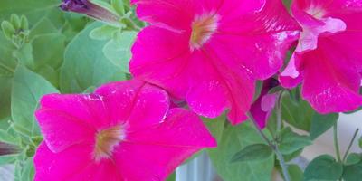 Петуния Марко Поло  F1 розовая. VI Этап. Цветение