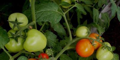 Моя томатная коллекция