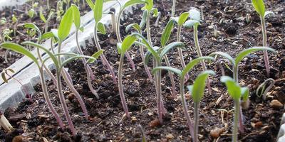 Взрыв – урожайный томат для открытого грунта