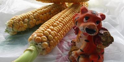 Мой опыт выращивания сахарной кукурузы 'Золотой початок F1'