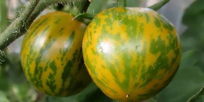 'Зеленая зебра' - томат с полосатыми плодами