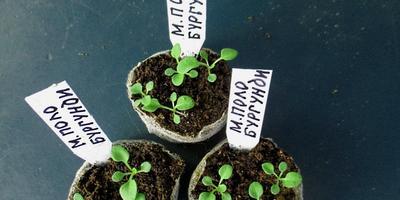 Петуния Марко Поло бургунди F1. IV этап. Развитие растений и уход за ними