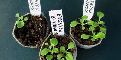 Комплиментуния голубая F1. IV этап. Развитие растений и уход за ними