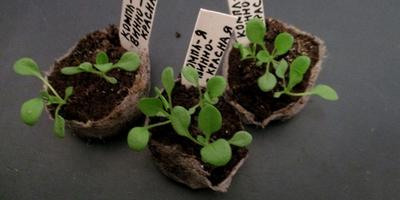 Комплиментуния винно-красная F1. IV этап. Развитие растений и уход за ними