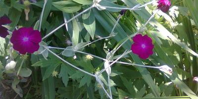 Вот такой цветик. Как он как называется?