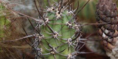 Кактусы - это не только колючки, но и красивоцветущие растения